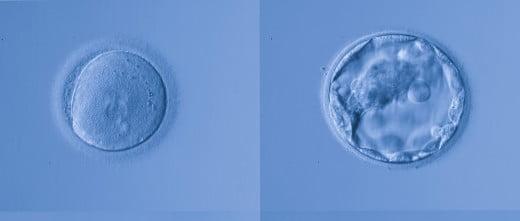 Óvulos fecundados y preembriones