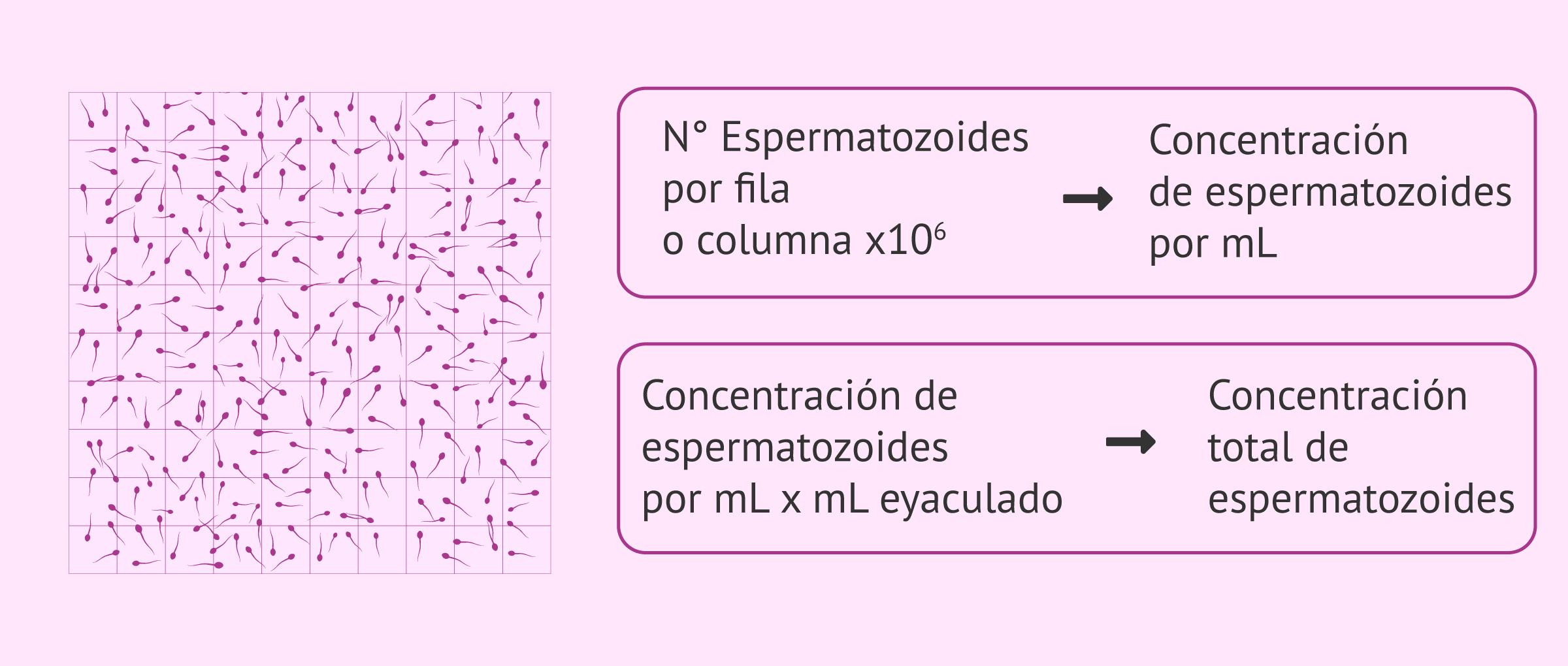 ¿Cómo se analiza la cantidad de espermatozoides en una eyaculación?