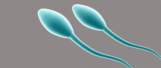 Clonar espermatozoides