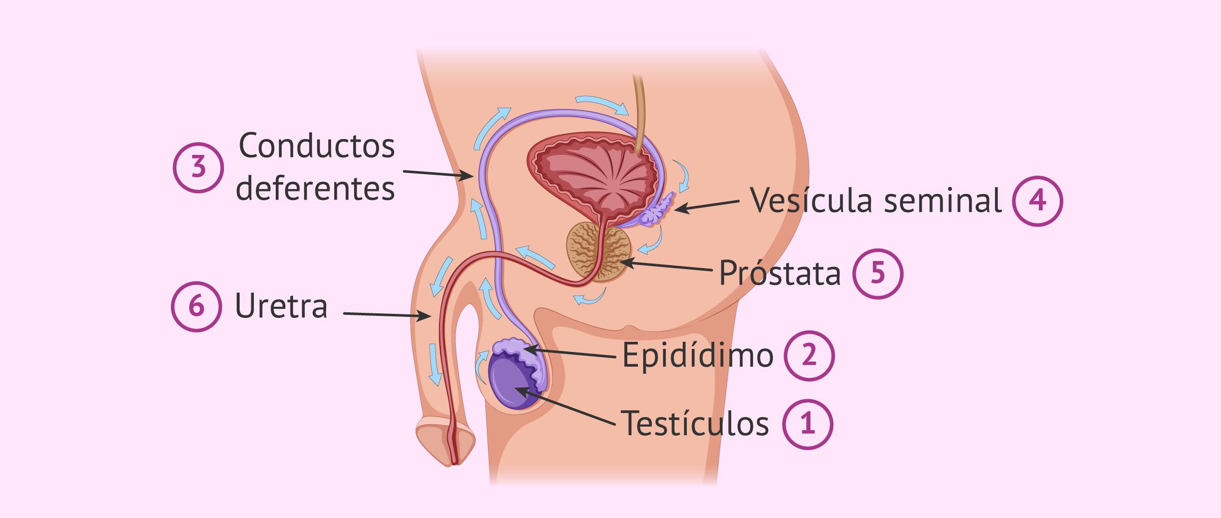 Viaje de los espermatozoides desde la formación hasta la expulsión