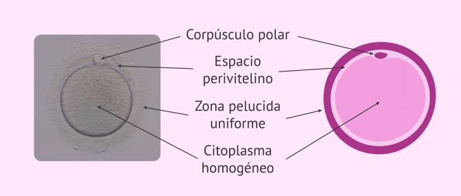 La calidad de los óvulos para un tratamiento de FIV