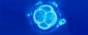 Embrión de 4 células