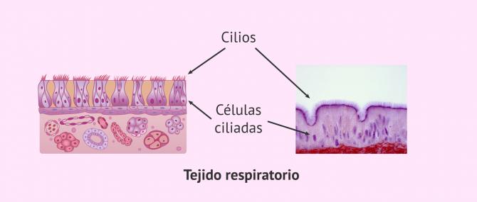 Imagen: Epitelio ciliar humano
