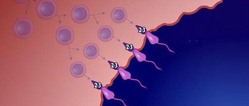 Espermatogénesis de los testículos