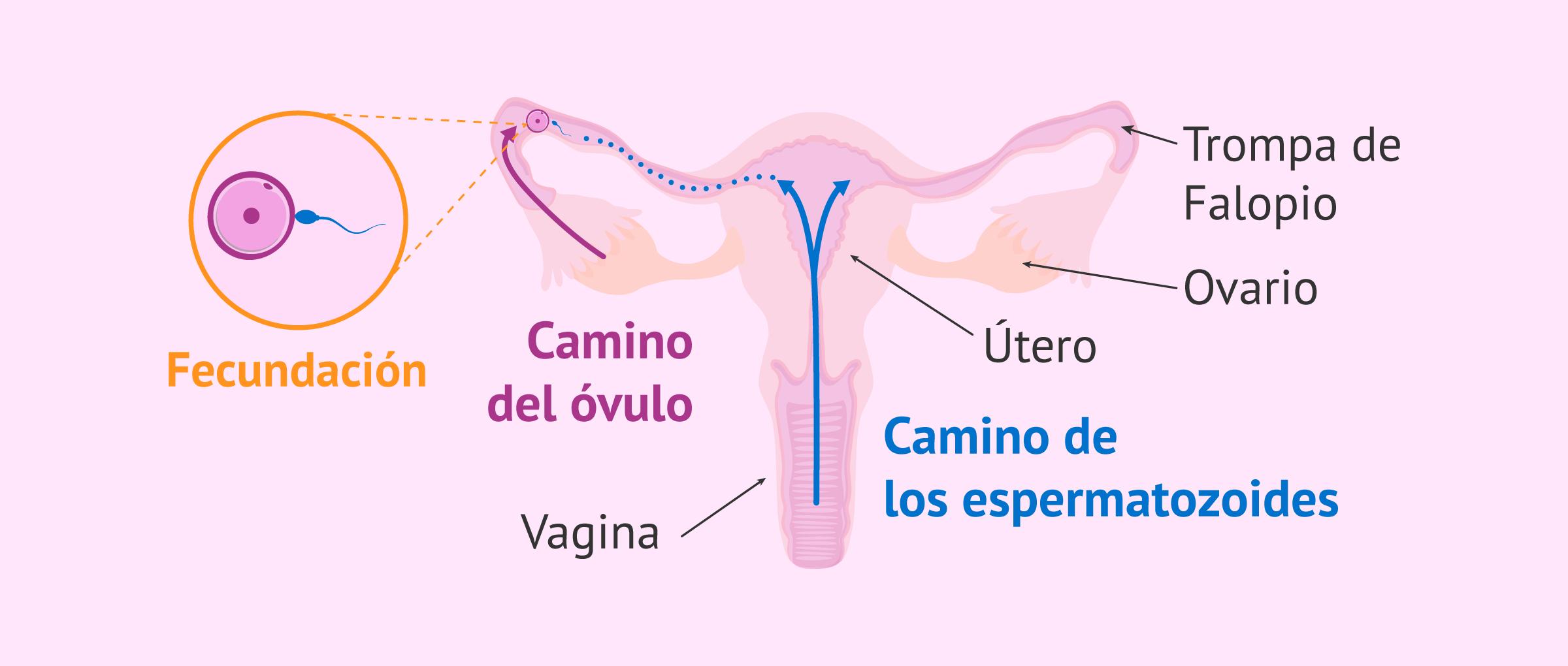 Eyaculación y ascenso de espermatozoides hacia las trompas