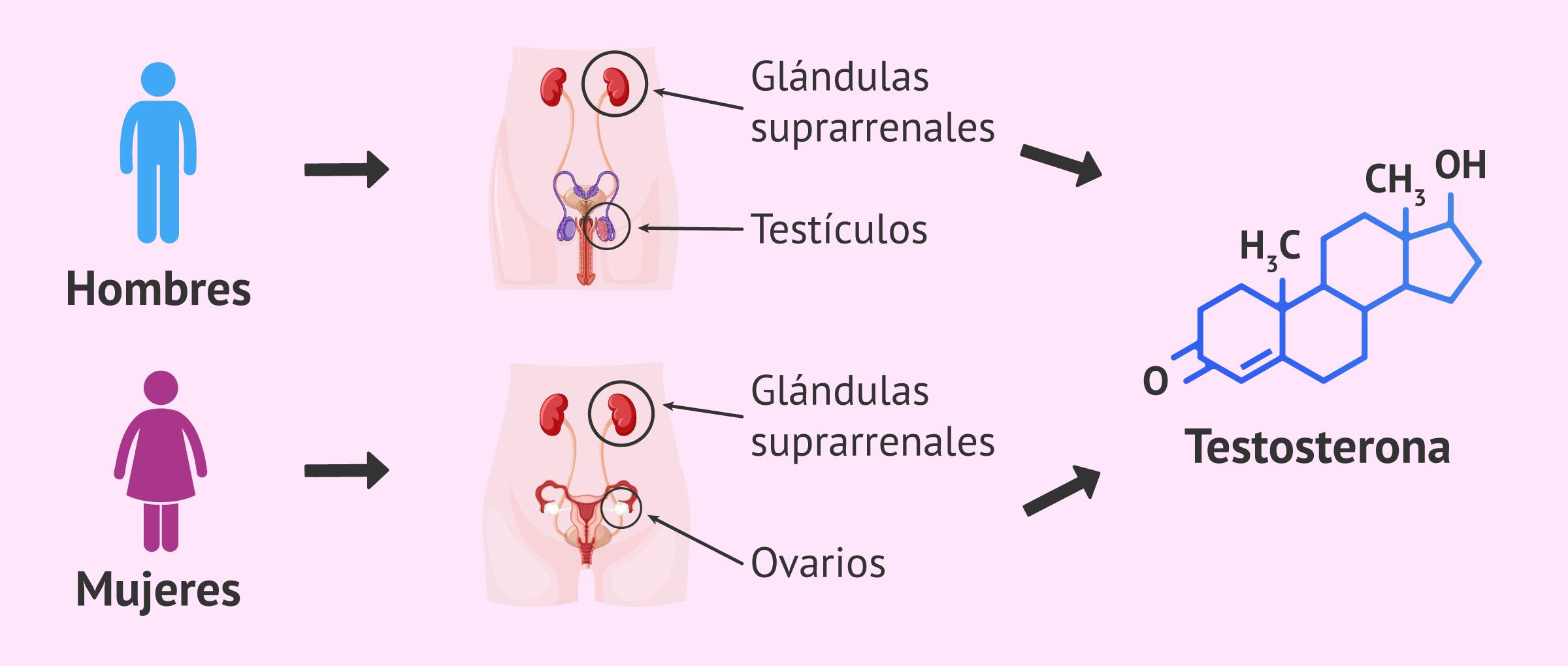 Formación de la testoterona