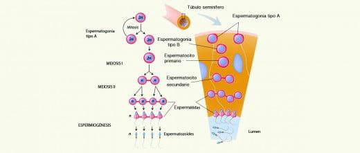 Es la face central del proceso de espermatogénesis.