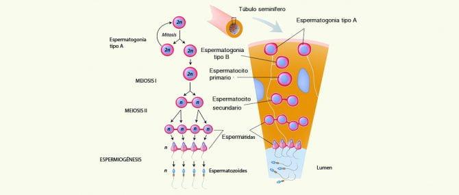Imagen: Es la face central del proceso de espermatogénesis.