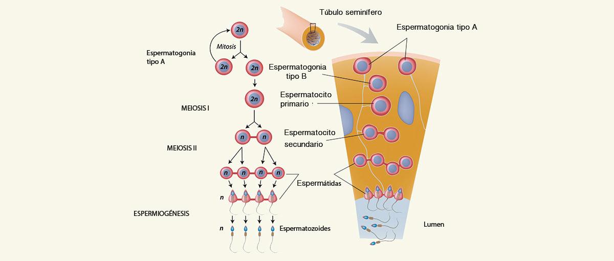 Fase de la meiosis