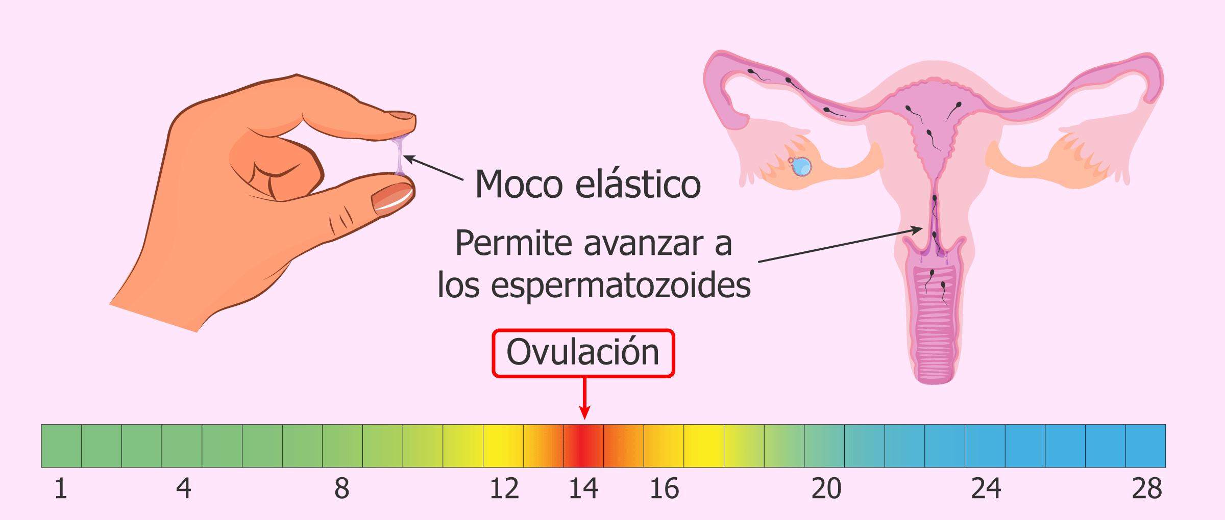 Imagen: Mucosidad cervical en la ovulación