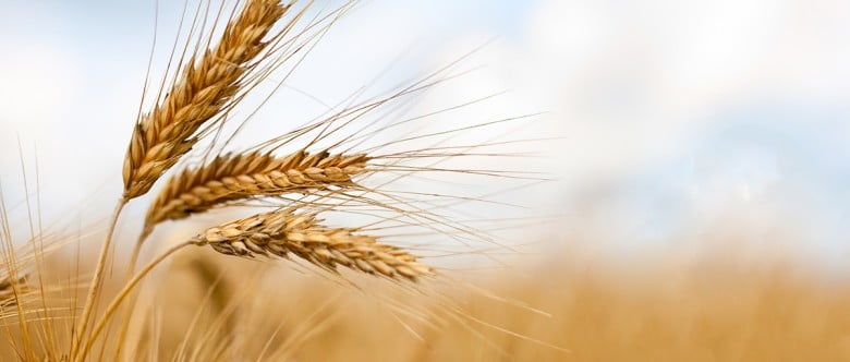 Prueba del trigo y la cebada