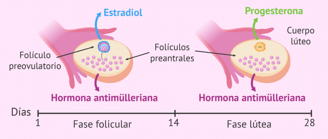 Imagen: Hormonas sexuales liberadas por el ovario