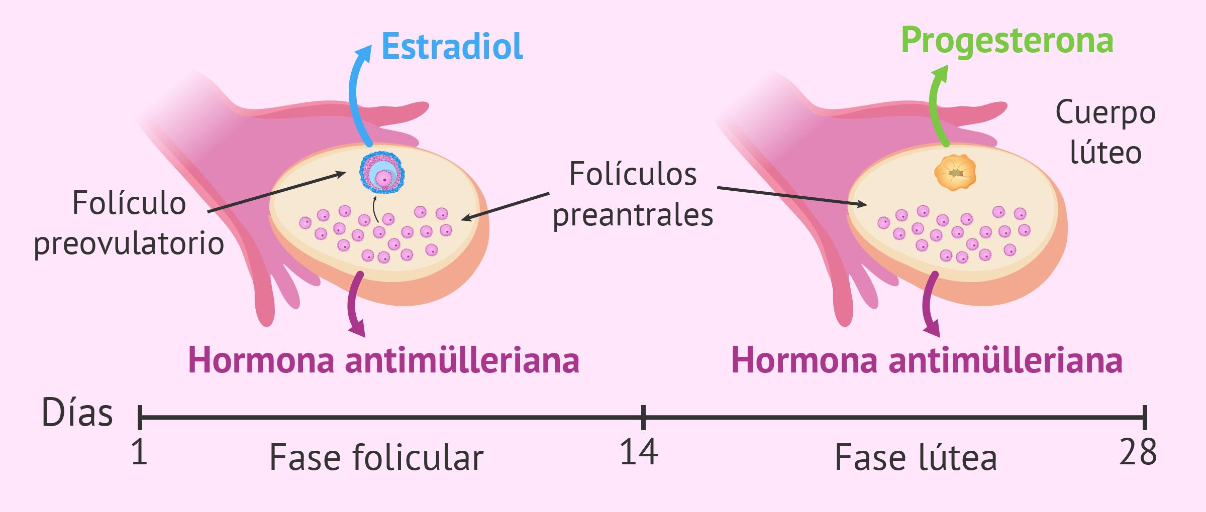 Hormonas sexuales liberadas por el ovario