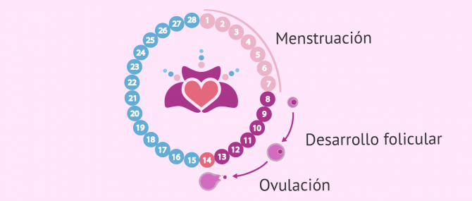 Imagen: Embrión implantado