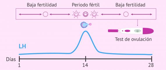 Cuándo ovulamos