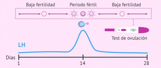 Imagen: Cuándo ovulamos