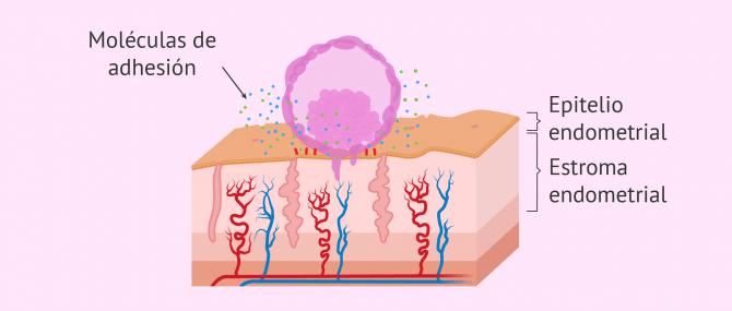 Imagen: Adhesión del embrión