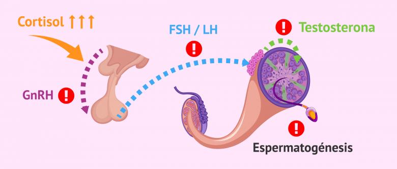 Imagen: Alteraciones del eje hipotálamo-hipófisis-testículo en hombres con estrés