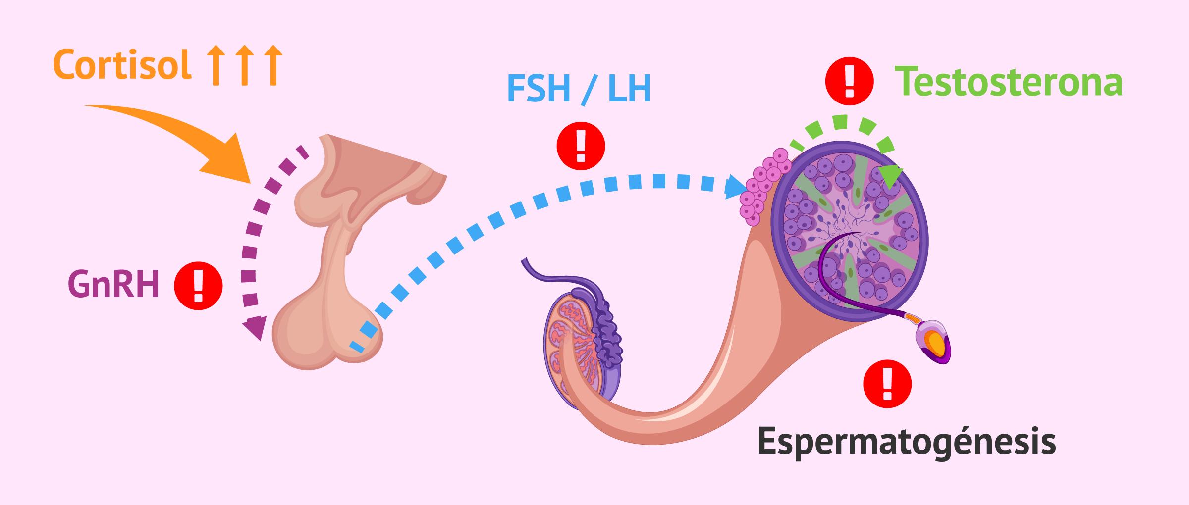 Alteraciones del eje hipotálamo-hipófisis-testículo en hombres con estrés