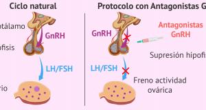 Fisiología de los antagonistas de la GnRH