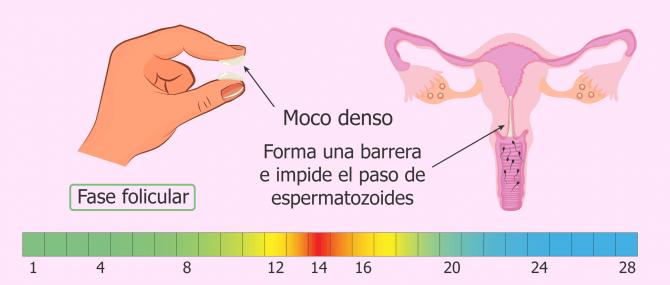 Imagen: Moco cervical antes de la ovulación