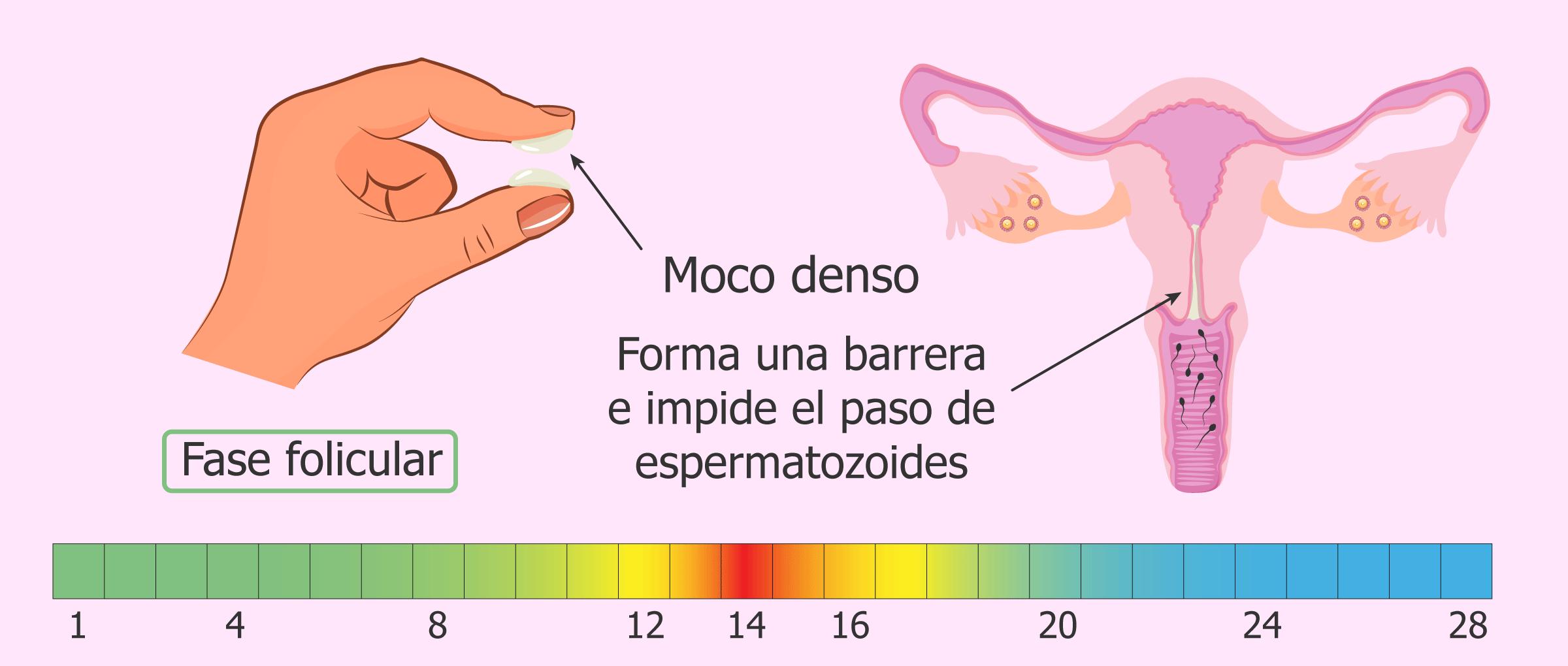 Moco cervical antes de la ovulación