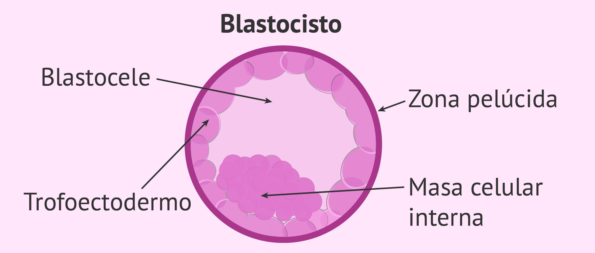 Embrión en estadio de blastocisto