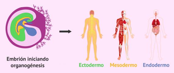 Imagen: Capas embrionarias e inicio de la organogénesis
