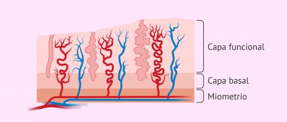 ¿Qué capas contiene el endometrio?