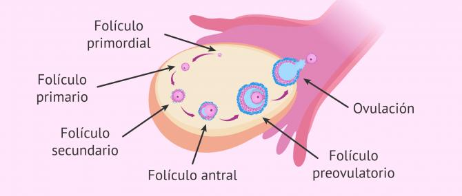 Imagen: Desarrollo folicular
