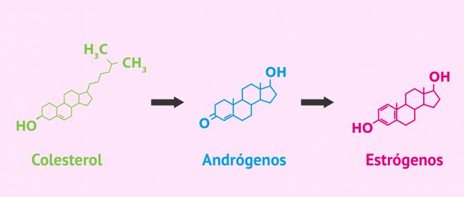 Imagen: Producción de estrógenos