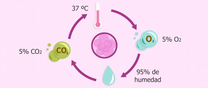 Cultivo de embriones en el laboratorio de fecundación 'in vitro' (FIV)
