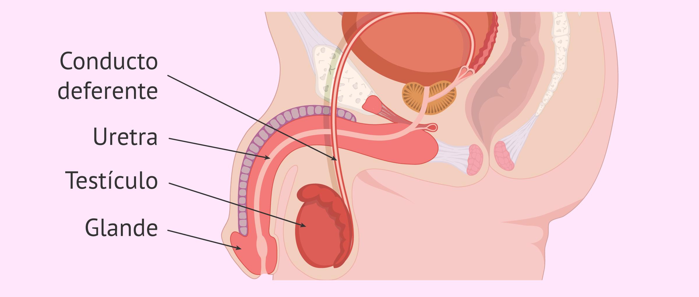 Imagen del aparato reproductor masculino y los conductos deferentes