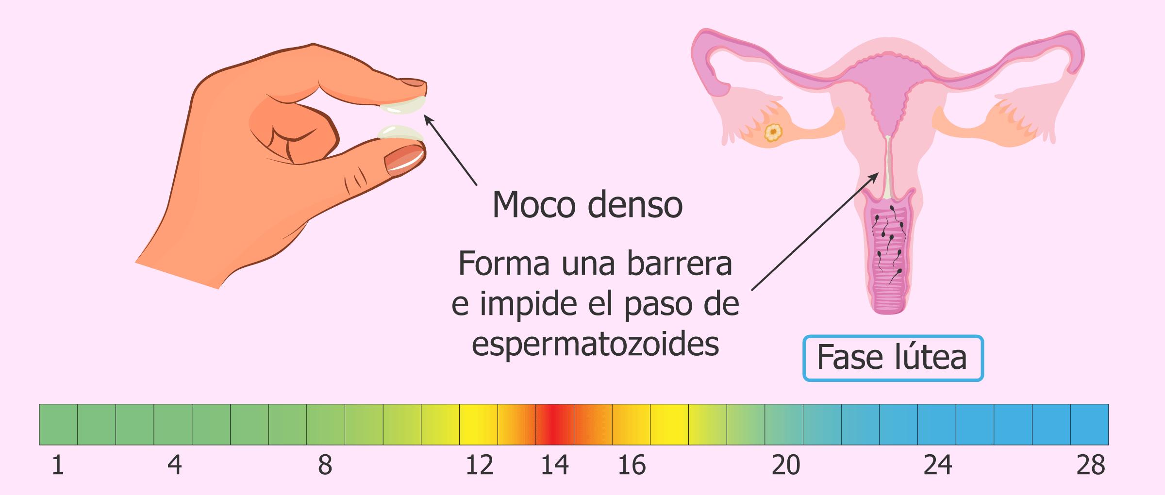 Imagen: Moco cervical en la fase lútea