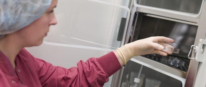Imagen: Los embriones se mantienen en el incubador