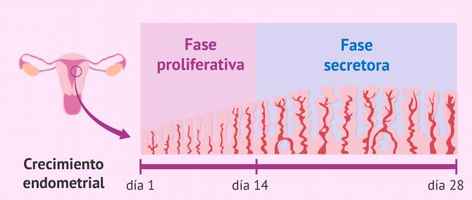 Imagen: Fases del crecimiento endometrial