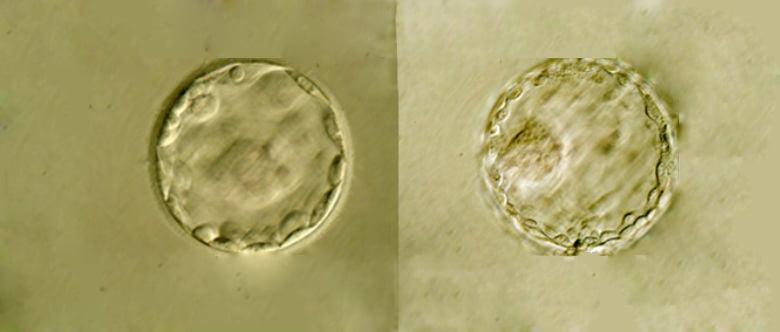 Cultivar los embriones hasta blastocisto
