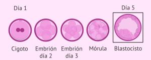 Estadios del desarrollo embrionario