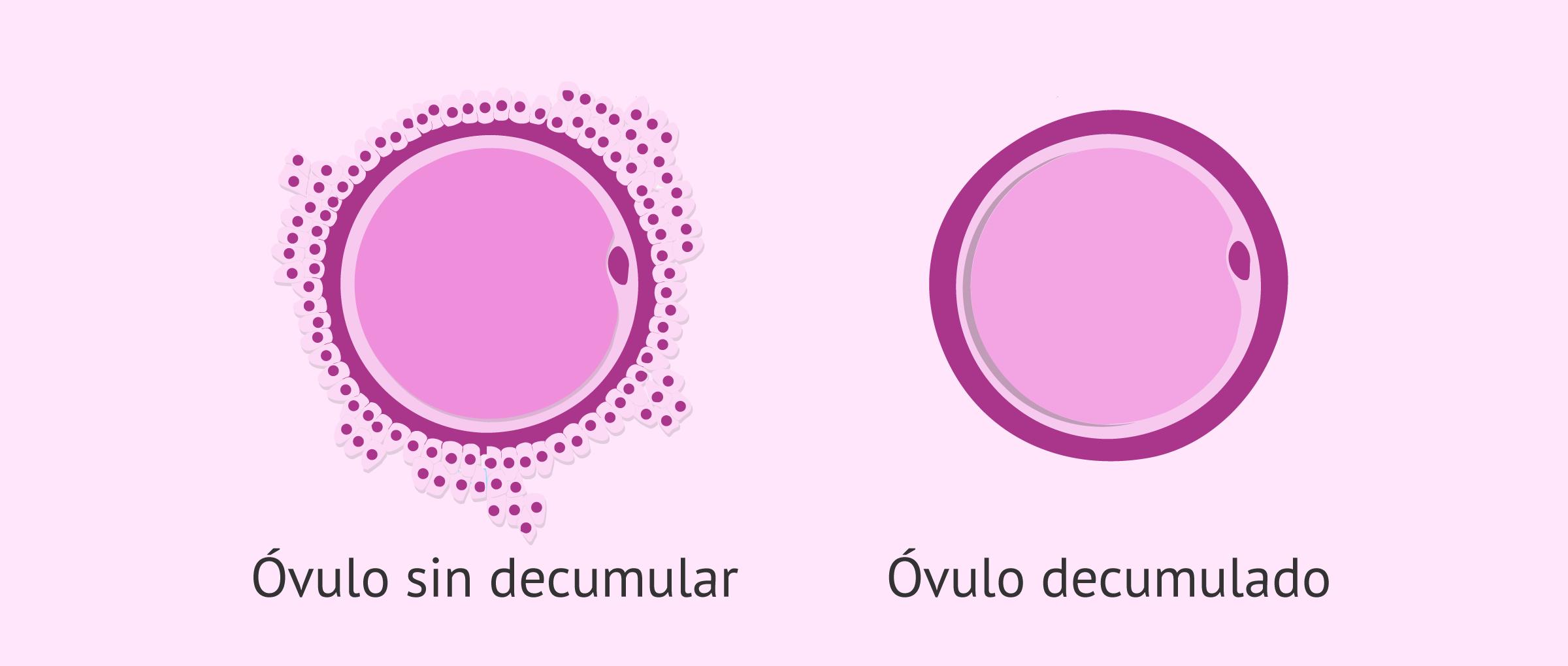 Decumulación de los óvulos