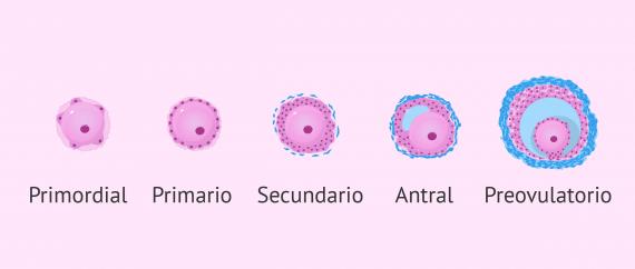 Reserva ovárica y folículos primordiales