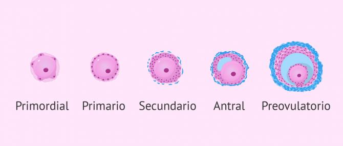 Imagen: Reserva ovárica y folículos primordiales