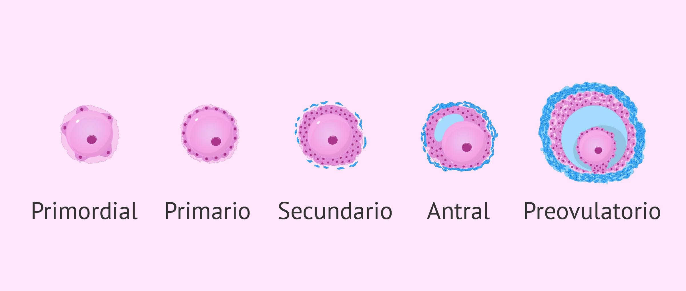 Desarrollo de los folículos del ovario