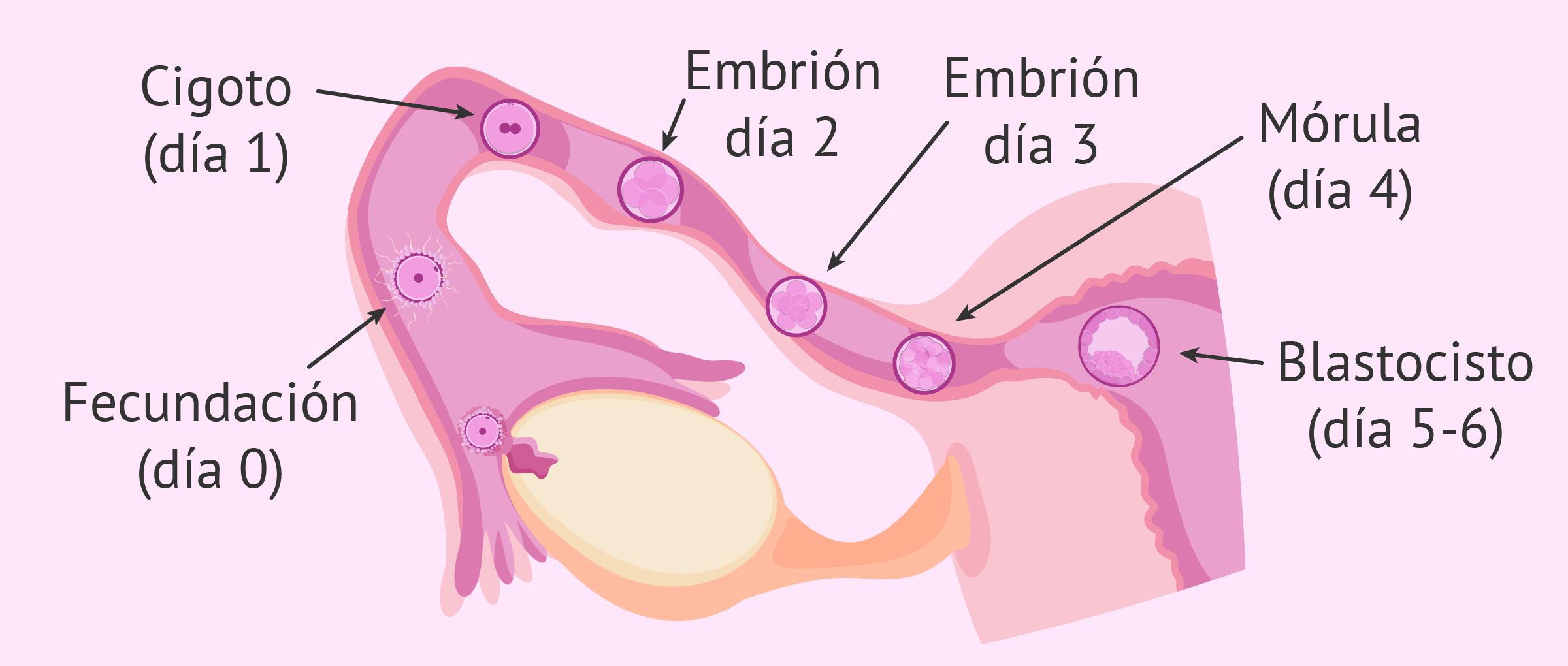 Semana 4 de embarazo: implantación del embrión en el útero