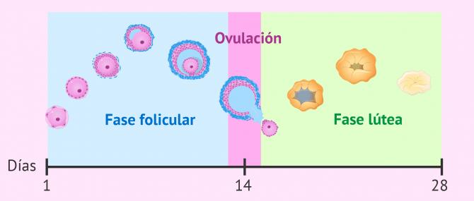 Imagen: Fase folicular