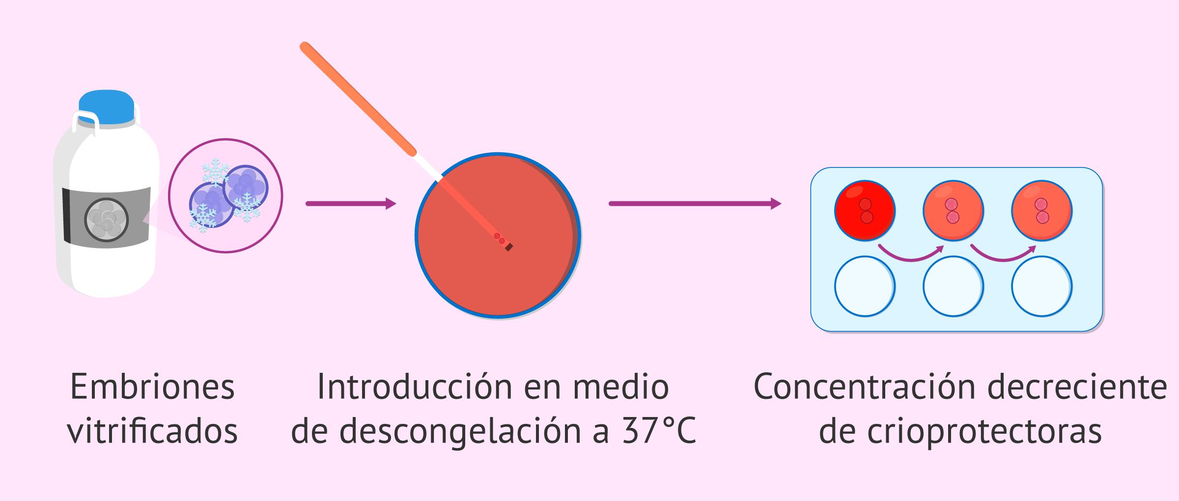 Proceso de desvitrificación de embriones