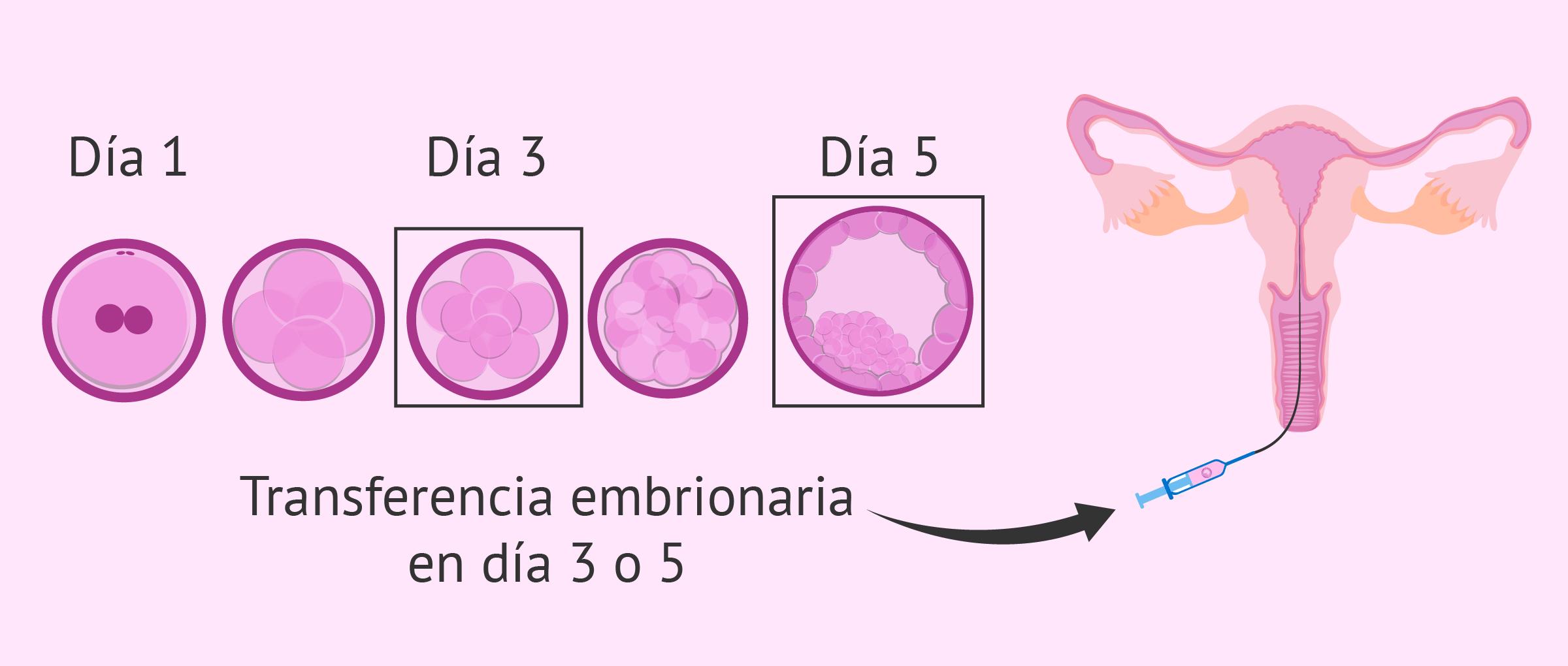 Cuándo hacer una transferencia embrionaria