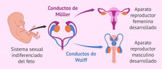 Imagen: Diferenciación sexual del feto