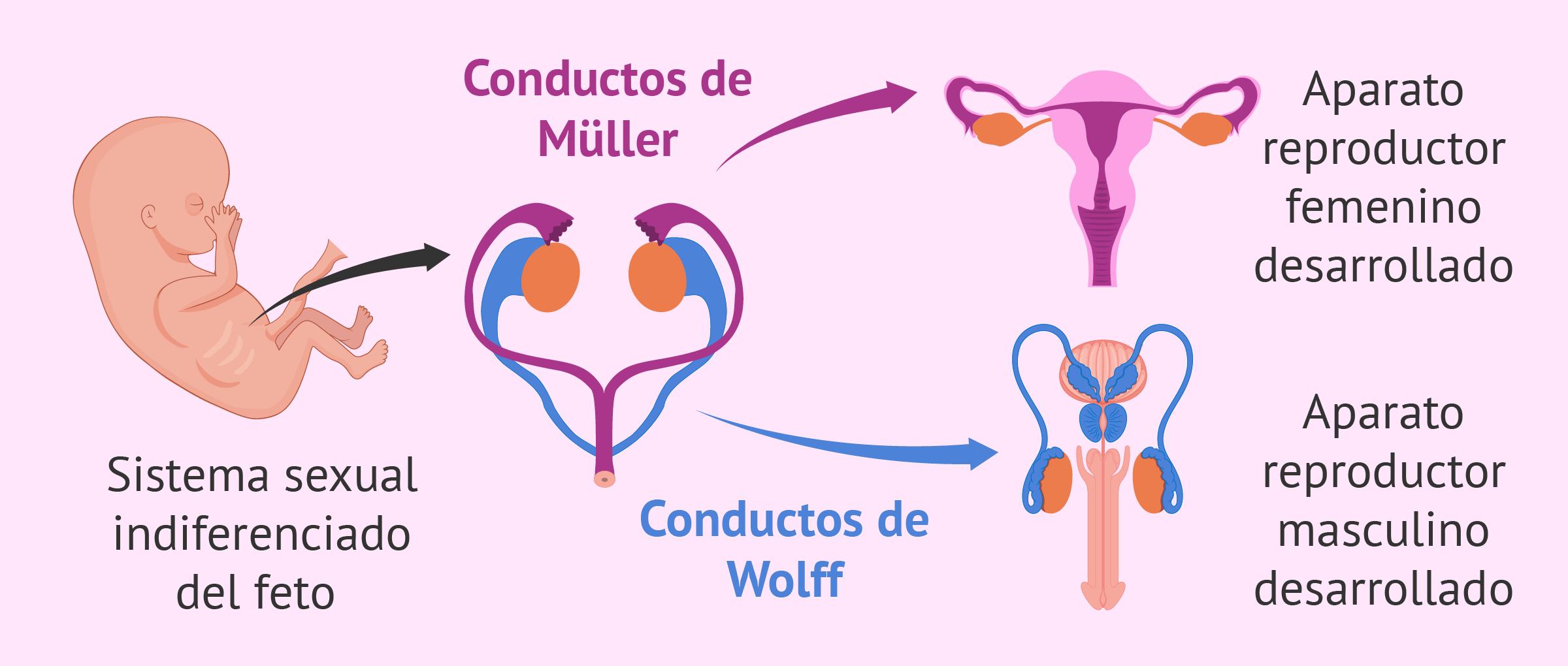 Diferenciación sexual del feto