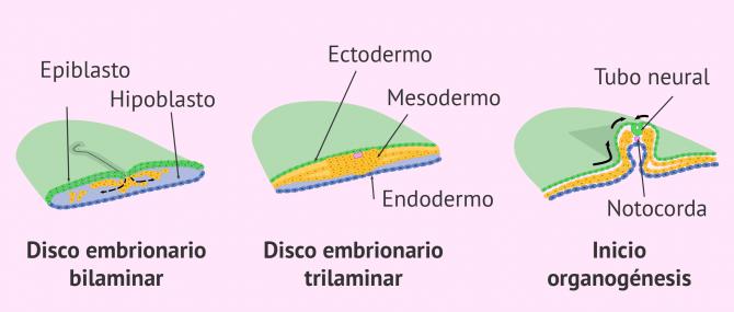 Imagen: Formación del disco embrionario trilaminar