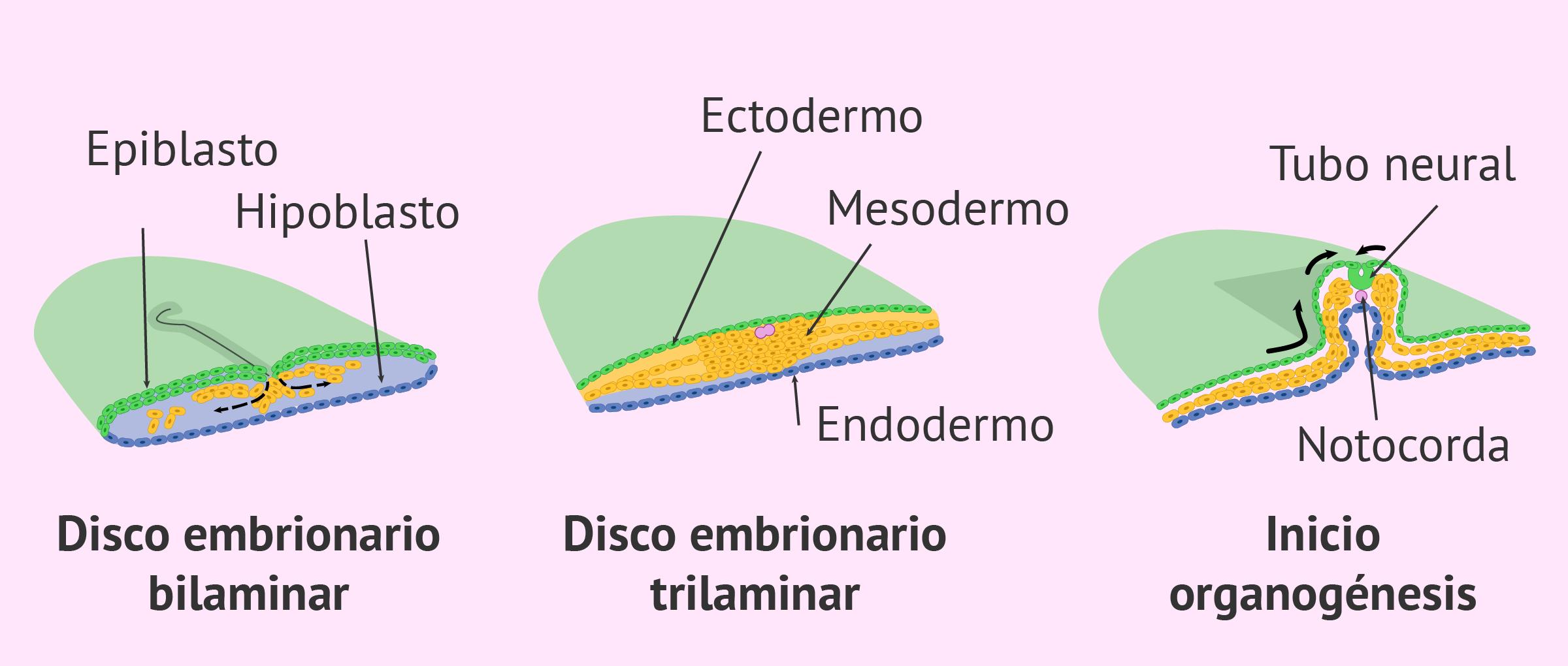 Formación del disco embrionario trilaminar